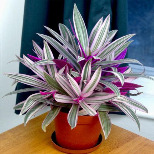 nurserylive-rhoeo-plant-rhoeo-discolor-tricolor-variegated-plant_600x600